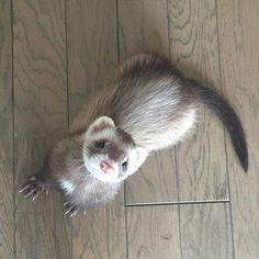 Hey October 10月だよ〜なの よろしくお願いしますなの〜 #ferret #ferrets #ferretsofinstagram #instaferret #ferretgram #ferretism #pet #petsofinstagram #petstagram #instapet #instaanimal #animal #instagood #instalike #instapic #instadaily #photooftheday #cute #adorable #kawaii #happy #october #フェレット #イタチ #ペット #カワイイ #ハッピー #10月 #つイタチ #つイタチだしイタチの画像上げていこうぜ