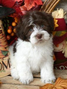 19 Best Havanese Breeders Images Havanese Breeders