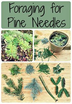 Foraging for Pine Needles (and other conifer needles)