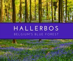 The Hallerbos or Bois de Hal, south of Brussels, is Belgium's blue forest. Each spring a carpet of bluebells makes it a magical place for photographers and nature-lovers.