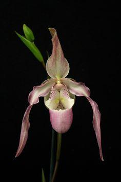 Phragmipedium QF Naukana Kealoha orchid