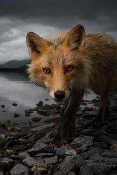 Foxy Plus de découvertes sur Le Blog des Tendances.fr #tendance #cute #animaux…