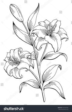 Black White Lily Drawing Stock Illustrations – 3 970 Black in lily flower drawing Lily Flower Graphic Black White Lilly Flower Drawing, Lilies Drawing, Lily Flower Tattoos, Flower Art, Pencil Drawings Of Flowers, Flower Sketches, White Flower Png, Black And White Drawing, Black White