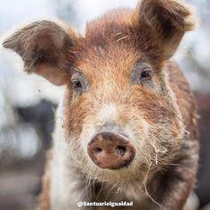 Una pequeña niña para la que no existe el miedo. Es Matilda.  -- #pig #piglet #piglife #piglover #piglove #pigstagram #piggylove #pigofig #pigofinstagram #instapig #piggy #piggys #oinkoink #vegansofig #veganism #veganofig #vegan #govegan#animalliberation #veg #vegetarian #veganpower #vegano #veganlove #veganshare #veganforlife #santuarioigualdad