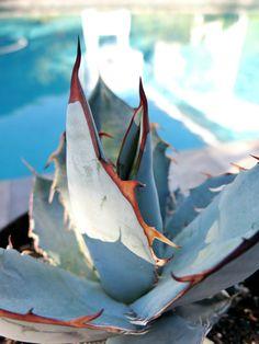 "Agave Rancho Tambor - Titanota 8"" Plant White Ice Beautiful Colors w Nice Center | eBay"