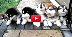 Puppies. Howling. 4-Weeks-Old. I Can't Handle It! You Have To See This.   The Animal Rescue Site Blog