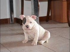 puppies real american bully pocket - YouTube