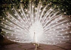 Beautiful white peacock...    Ahem, Malfoy Manor much?