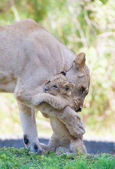 Heartbreaking pictures of Asha the lion with her cub before she died