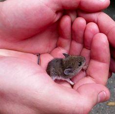 Esse filhote de rato incrivelmente pequeno. | 21 filhotinhos tão pequenininhos que dá vontade de chorar