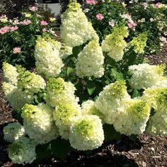 Hydrangea paniculata Lavalamp™ Moonrock™   White Flower Farm