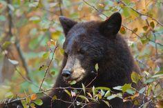 Τι κοινό έχει η διατροφή των Γάλλων και των αρκούδων που τους χαρίζει υγεία