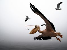 Pelican Photo – Animals Wallpaper – National Geographic Photo of the Day