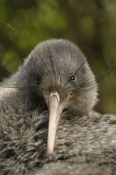 native to New Zealand and what the kiwi fruit was named after cos of being fuzzy brown on the outside. People from New Zealand where kiwi fruit comes from are also named Kiwis. Pretty Birds, Love Birds, Beautiful Birds, Animals Beautiful, Animals And Pets, Cute Animals, Photo Animaliere, Kiwi Bird, Ostriches