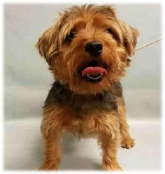 MAXIMUS - A1098310 - - Manhattan  Please Share:TO BE DESTROYED 12/07/16 **NEEDS A NEW HOPE RESCUE TO PULL** -  Click for info & Current Status: http://nycdogs.urgentpodr.org/maximus-a1098310/