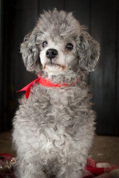 Happy Holidays! ~ Winnie the Poodle #winniethepoodle