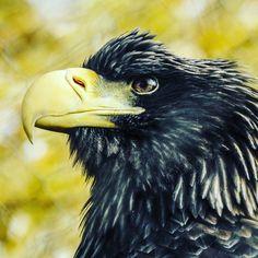 #Sea #Eagle @TheTorontoZoo #NikonP900 #Nikon #P900 @nikonusa Camera Used: Nikon COOLPIX P900 Digital Camera with 83x 2000mm Optical Zoom . Check it out on Amazon at http://amzn.to/1NXLwLg Photo processed with #Adobe #Lightroom . Check it out on Amazon at http://amzn.to/1NHUI4x