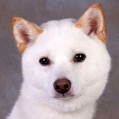 Sakura is an adoptable Shiba Inu Dog in Chester Springs, PA. To adopt any of our animals, please fill out an adoption application. Click here to apply. No out-of-state applicants will be considered. M...