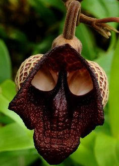 The Darth Vader flower, also known as Aristolochia salvador platensis.