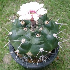 Gymnocalycium chiquitanum