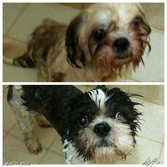 PepperとLunaをシャワー #shower #shihtzu #dog #philippines #フィリピン #犬 #シーズー