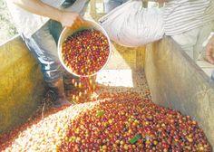 Contrabando de café desde Honduras  Sobreproducción y baja paga inciden en que introduzcan el grano por puntos ciegos. La caída de los precios del café en Honduras ha ocasionado que este grano entre de contrabando a territorio nacional, donde la paga es mejor. El Ejército ha destacado este año una fuerza superior a los 500 soldados en Madriz y Nueva Segovia para protección del territorio. LA PRENSA/ARCHIVO/A.LORÍO