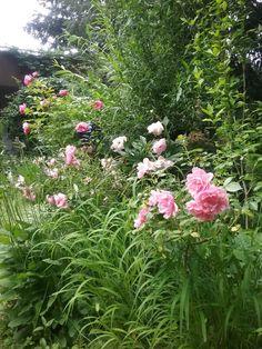 rosa Rosen in meinem Garten