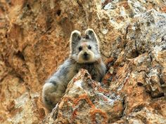 First photo in the last 20 years of an Ili Pika (Ochotona iliensis), the magical rabbit.