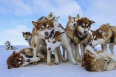 Photograph by @paulnicklen for @natgeo and @natgeopristineseas while on assignment in Greenland.  Huskies are the engines of the far North.  In a town like Qaanaaq they do not use snowmobiles because they are loud and scare the wildlife away.  By using dogs they do not have to travel as far and they never breakdown.  With @enricsala and @cristinamittermeier  My editor Kathy Moran and I are going through the editing process and I love how she finds the images that I would otherwise never see…