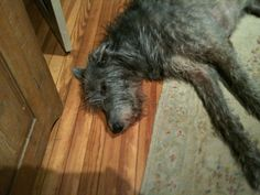Alistair as a young lad Irish Wolfhounds, Young Lad, Gentle Giant, Creatures, Dogs, Animals, Animales, Animaux, Pet Dogs