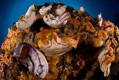Coral Tri  Squirts Tunicates