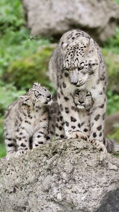 Cats big eyes snow leopard 37 Ideas for 2019 Big Cats, Cute Cats, Cats And Kittens, Siamese Cats, Nature Animals, Animals And Pets, Wild Animals, Beautiful Cats, Animals Beautiful