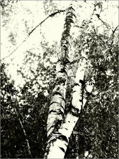 yama -bato  © yama-bato,Tree,2012  (Mesteacănul )