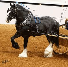 I absolutely adore shires. They are by far my favorite horse ever. Big Horses, Horses And Dogs, Black Horses, Horse Love, Most Beautiful Horses, Pretty Horses, Animals Beautiful, Andalusian Horse, Friesian Horse