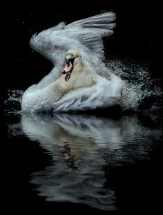 Shower Time.... by Paul Keates    on 500px....I will never forget My beautiful swan Be happy Be free She said to me My love My love You will always be with me.