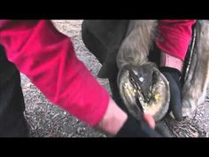 """""""Maintenance"""" Trim with """"Wild Knife""""  (Natural Hoof Care)"""