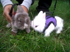 Double Maned Lionhead Rabbit | Double Maned Pure Lionhead Baby Rabbits Bunnies