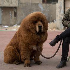 Tibetan mastiffs fetching prices up to around 750 000 usd