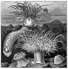 Sea Anemones, Ocean Life - Curious Clipart - Vintage Clip Art