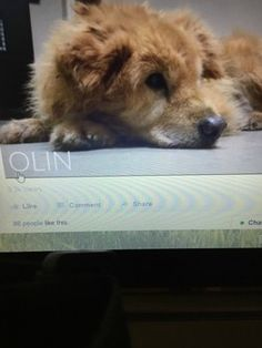 Blind and deaf, Olin the senior retriever dumped at shelter after owner died