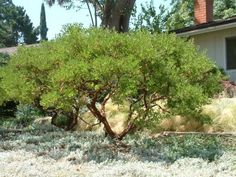 Plant photo of: Arctostaphylos densiflora 'Howard McMinn