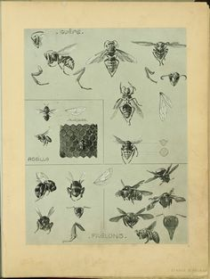 bees, scientific illustration by Méheut, Mathurin,