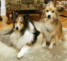 Trynidee and Echo is an adoptable Shetland Sheepdog Sheltie Dog in Englewood, CO. Trynidee (Trinity) and Echo are a very loving, outgoing, bonded pair of girls. Trynidee (left) is a 10 year old, mahog...