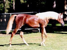 Simeon Sarice (Imperial Madaar x Simeon Sayver) 2001 flaxen chestnut mare bred by Simeon Stud