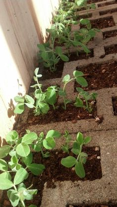 Sugar snap peas in January, zone 4, unheated greenhouse.