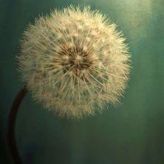 Dark Teal Texture with Dandelion Soft White Flower Fine Art Metallic Photo