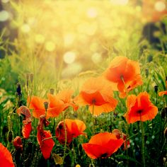 Poppies by ~CasheeFoo on deviantART