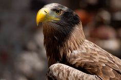 Adler Bald Eagle, Animals, Animal Photography, Eagle, Animales, Animaux, Animal Memes, Animal, Animais