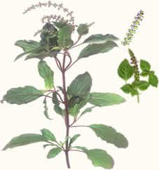 Ocimum tenuiflorum (Holy basil)