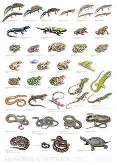 Reptiles And Amphibians, Les Reptiles, Terrarium Bowls, Terrarium Diy, Bird Poster, New Poster, Reptile Supplies, Pet Supplies, Central Europe